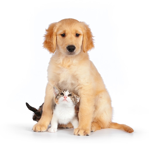 DOK 01 RK0600 01 © Kimball Stock Calico Tabby Kitten And Golden Retriever Puppy Sitting On White Seamless