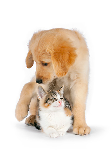 DOK 01 RK0602 01 © Kimball Stock Calico Tabby Kitten Laying Under Golden Retriever Puppy On White Seamless