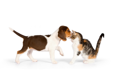 DOK 01 RK0605 01 © Kimball Stock Beagle Puppy Kissing Calico Tabby Kitten On White Seamless