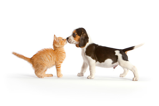 DOK 01 RK0607 01 © Kimball Stock Beagle Puppy Sniffing Orange Tabby Kitten On White Seamless