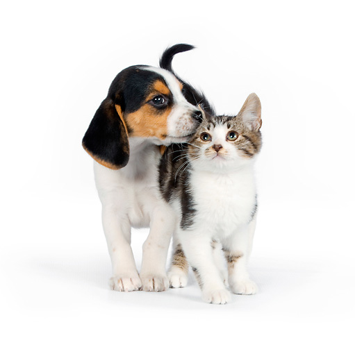 DOK 01 RK0609 01 © Kimball Stock Beagle Puppy Sniffing Tabby Kitten On White Seamless