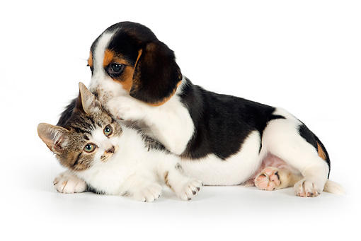 DOK 01 RK0613 01 © Kimball Stock Beagle Puppy And Tabby Kitten Laying On White Seamless