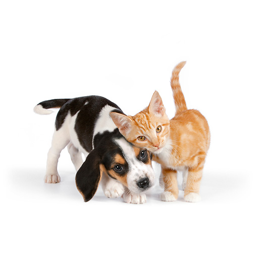 DOK 01 RK0614 01 © Kimball Stock Beagle Puppy And Orange Tabby Kitten Standing On White Seamless