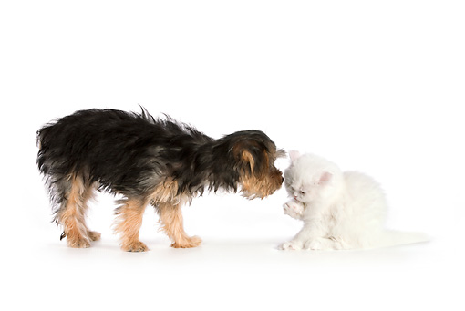 DOK 01 RK0621 01 © Kimball Stock Yorkshire Terrier Puppy Sniffing White Persian Kitten On White Seamless