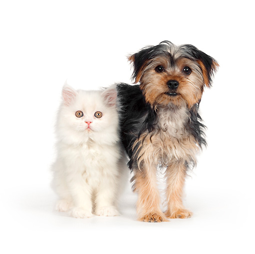 DOK 01 RK0622 01 © Kimball Stock Yorkshire Terrier Puppy And White Persian Kitten On White Seamless