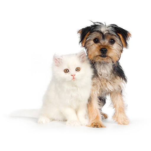 DOK 01 RK0623 01 © Kimball Stock Yorkshire Terrier Puppy And White Persian Kitten Sitting On White Seamless