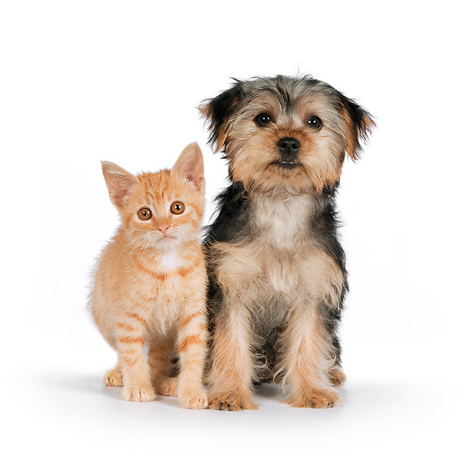 DOK 01 RK0624 01 © Kimball Stock Yorkshire Terrier Puppy And Orange Tabby Kitten Sitting On White Seamless