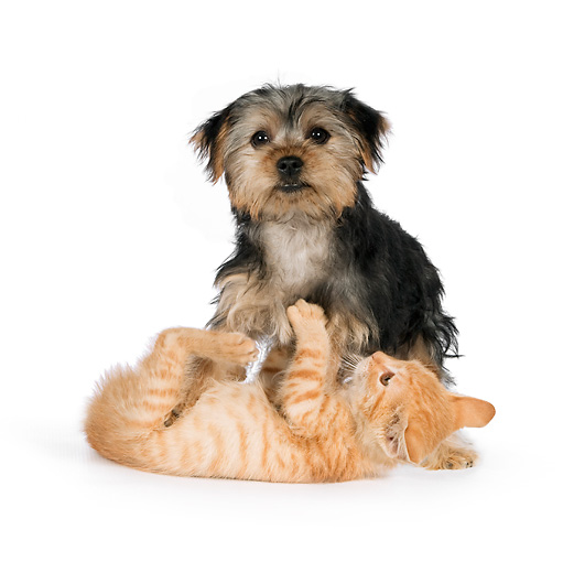DOK 01 RK0625 01 © Kimball Stock Yorkshire Terrier Puppy And Orange Tabby Kitten Playing On White Seamless