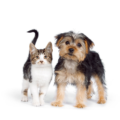 DOK 01 RK0626 01 © Kimball Stock Yorkshire Terrier Puppy And Tabby Kitten Standing On White Seamless