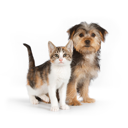 DOK 01 RK0628 01 © Kimball Stock Yorkshire Terrier Puppy And Calico Tabby Kitten On White Seamless