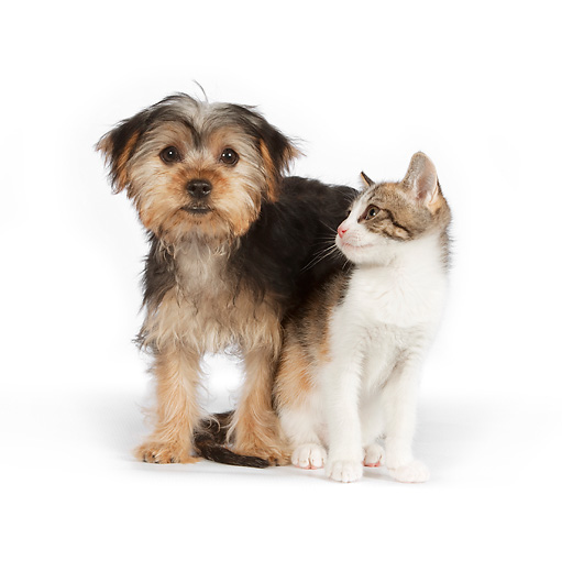 DOK 01 RK0629 01 © Kimball Stock Yorkshire Terrier Puppy And Calico Tabby Kitten On White Seamless