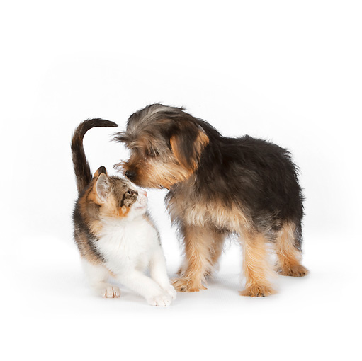 DOK 01 RK0630 01 © Kimball Stock Yorkshire Terrier Puppy Sniffing Calico Tabby Kitten On White Seamless