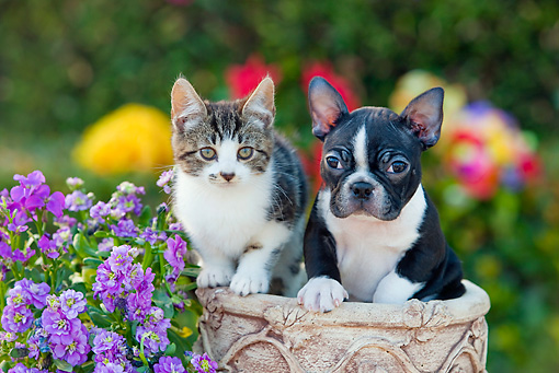 DOK 01 RK0635 01 © Kimball Stock Tabby Kitten And Boston Terrier Puppy Sitting In Flower Pot By Flowers