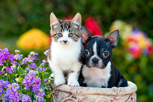 DOK 01 RK0636 01 © Kimball Stock Tabby Kitten And Boston Terrier Puppy Sitting In Flower Pot By Flowers