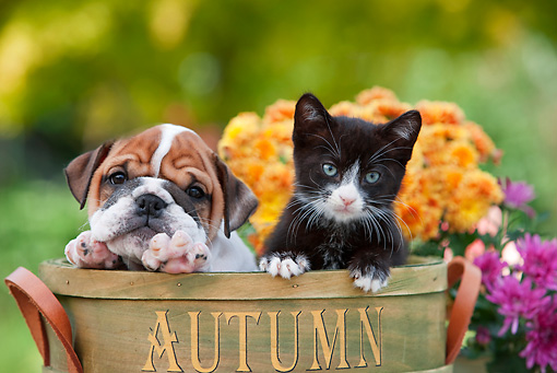 DOK 01 RK0637 01 © Kimball Stock English Bulldog Puppy And Black And White Kitten Sitting In Flower Pot By Flowers