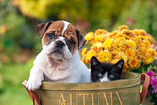 DOK 01 RK0638 01 © Kimball Stock English Bulldog Puppy And Black And White Kitten Sitting In Flower Pot By Flowers