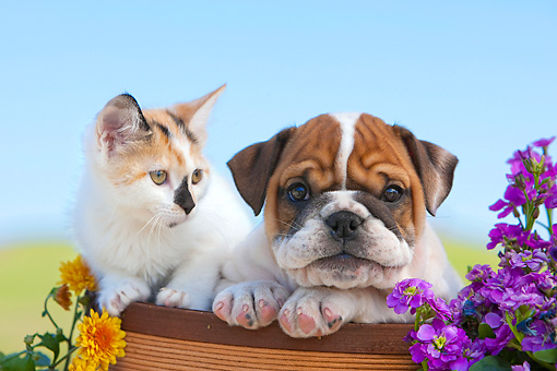 DOK 01 RK0641 01 © Kimball Stock English Bulldog Puppy And Calico Tabby Kitten Sitting In Flower Pot By Flowers