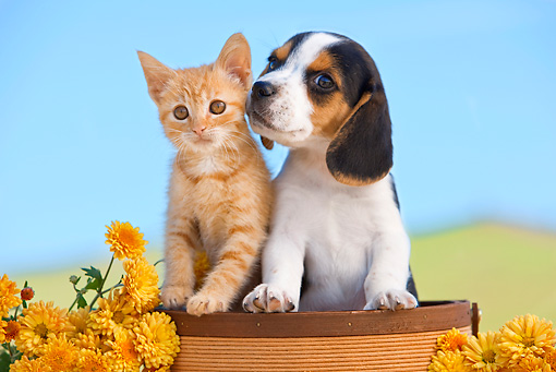 DOK 01 RK0643 01 © Kimball Stock Beagle Puppy And Orange Tabby Kitten Sitting In Flower Pot By Flowers