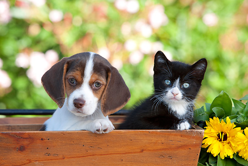 DOK 01 RK0648 01 © Kimball Stock Beagle Puppy And Black And White Kitten Sitting In Planter By Flowers
