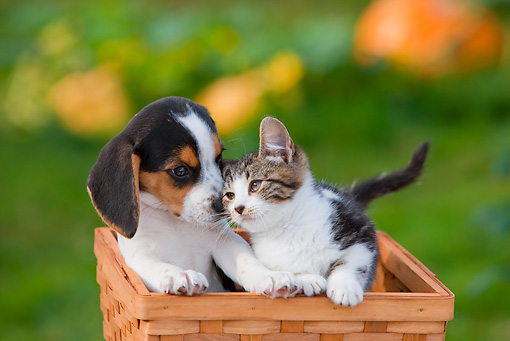 DOK 01 RK0649 01 © Kimball Stock Beagle Puppy And Tabby And White Kitten Sitting In Basket