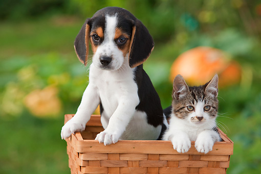 DOK 01 RK0650 01 © Kimball Stock Beagle Puppy And Tabby And White Kitten Sitting In Basket