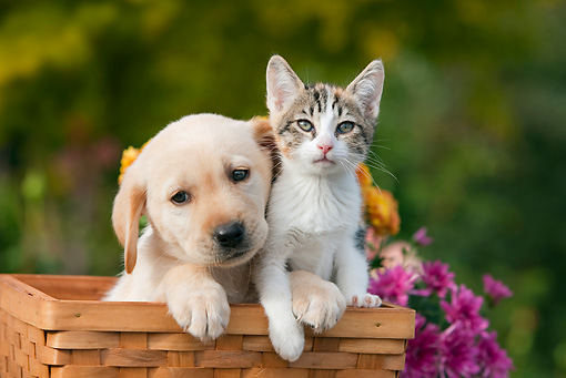 DOK 01 RK0652 01 © Kimball Stock Yellow Labrador Retriever Puppy And Calico Tabby Kitten Sitting In Basket By Flowers