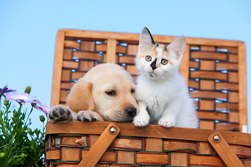 DOK 01 RK0655 01 © Kimball Stock Yellow Labrador Retriever Puppy And Calico Tabby Kitten Sitting In Basket By Flowers
