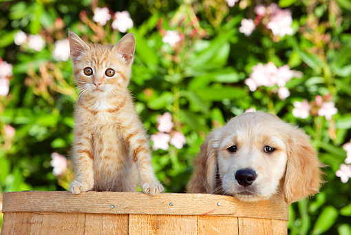 DOK 01 RK0657 01 © Kimball Stock Golden Retriever Puppy And Orange Tabby Kitten Sitting In Bucket By Flowers