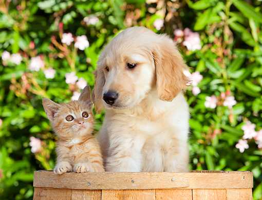 DOK 01 RK0658 01 © Kimball Stock Golden Retriever Puppy And Orange Tabby Kitten Sitting In Bucket By Flowers