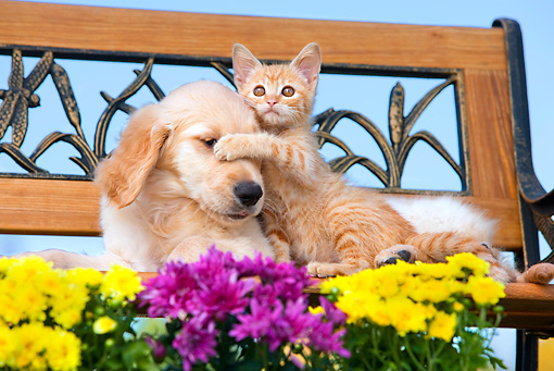 DOK 01 RK0663 01 © Kimball Stock Golden Retriever Puppy And Orange Tabby Kitten Laying On Bench By Flowers