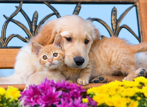 DOK 01 RK0664 01 © Kimball Stock Golden Retriever Puppy And Orange Tabby Kitten Laying On Bench By Flowers