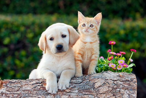 DOK 01 RK0665 01 © Kimball Stock Yellow Labrador Retriever Puppy And Orange Tabby Kitten Leaning On Log By Flowers