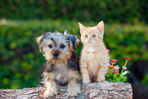 DOK 01 RK0666 01 © Kimball Stock Yorkshire Terrier Puppy And Orange Tabby Kitten Leaning On Log By Flowers