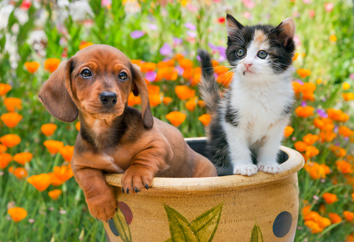 DOK 01 RK0667 01 © Kimball Stock Dachshund Puppy And Calico Kitten Sitting In Flower Pot In Garden