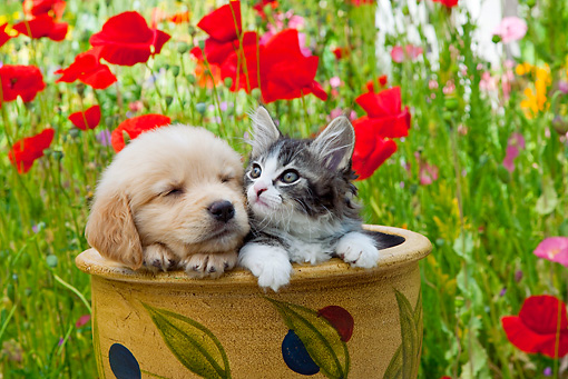 DOK 01 RK0668 01 © Kimball Stock Golden Retriever Puppy And Tabby Kitten Sitting In Flower Pot In Garden