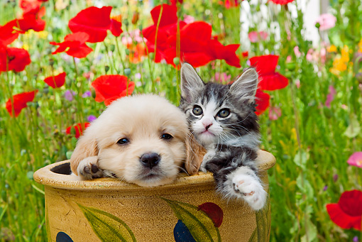 DOK 01 RK0669 01 © Kimball Stock Golden Retriever Puppy And Tabby Kitten Sitting In Flower Pot In Garden