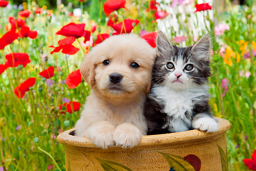 DOK 01 RK0670 01 © Kimball Stock Golden Retriever Puppy And Tabby Kitten Sitting In Flower Pot In Garden