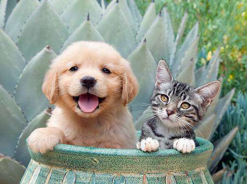 DOK 01 RK0673 01 © Kimball Stock Golden Retriever Puppy And Tabby Kitten Sitting In Flower Pot In Garden