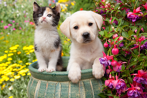 DOK 01 RK0675 01 © Kimball Stock Yellow Labrador Retriever Puppy And Calico Kitten Sitting In Flower Pot In Garden