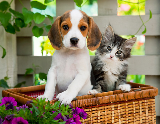 DOK 01 RK0677 01 © Kimball Stock Beagle Puppy And Tabby Kitten Sitting In Picnic Basket In Garden