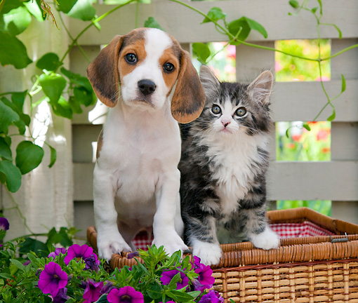 DOK 01 RK0678 01 © Kimball Stock Beagle Puppy And Tabby Kitten Sitting In Picnic Basket In Garden