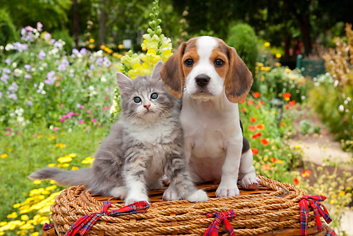 DOK 01 RK0680 01 © Kimball Stock Beagle Puppy And Silver Tabby Kitten Sitting On Picnic Basket In Garden