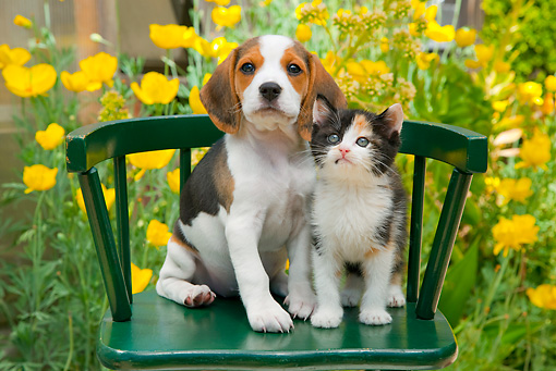 DOK 01 RK0682 01 © Kimball Stock Beagle Puppy And Calico Kitten Sitting On Green Chair In Garden