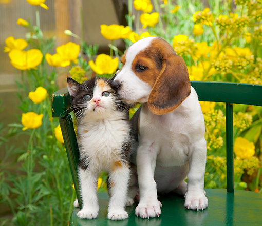 DOK 01 RK0683 01 © Kimball Stock Beagle Puppy And Calico Kitten Sitting On Green Chair In Garden