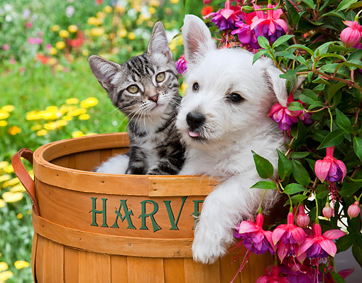 DOK 01 RK0684 01 © Kimball Stock West Highland Terrier Puppy And Tabby Kitten Sitting In Basket In Garden