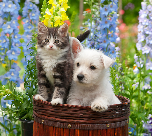 DOK 01 RK0685 01 © Kimball Stock West Highland Terrier Puppy And Tabby Kitten Sitting In Basket In Garden