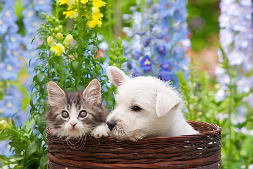 DOK 01 RK0686 01 © Kimball Stock West Highland Terrier Puppy And Tabby Kitten Sitting In Basket In Garden