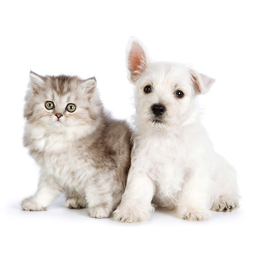 DOK 01 RK0687 01 © Kimball Stock Persian Kitten And West Highland Terrier Puppy Sitting On White Seamless