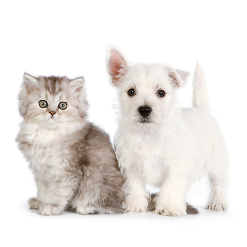 DOK 01 RK0688 01 © Kimball Stock Persian Kitten And West Highland Terrier Puppy On White Seamless