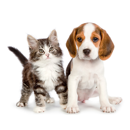 DOK 01 RK0693 01 © Kimball Stock Tabby Kitten And Beagle Puppy On White Seamless